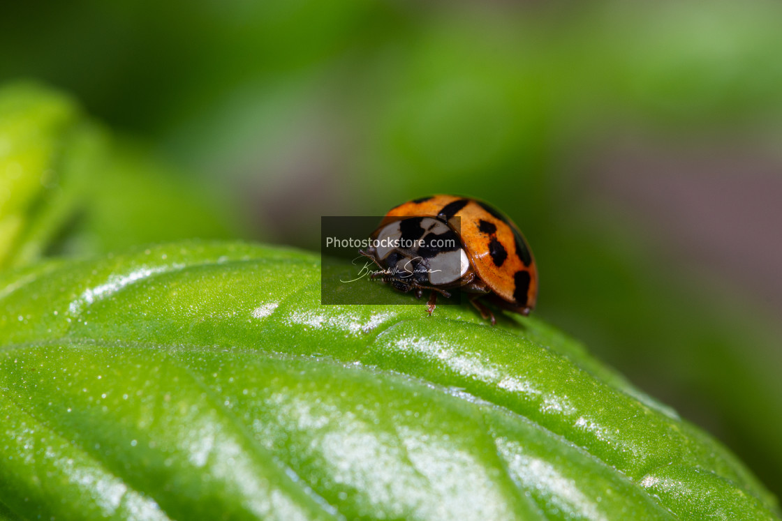 """Small red ladybird resting on a green basil leaf"" stock image"