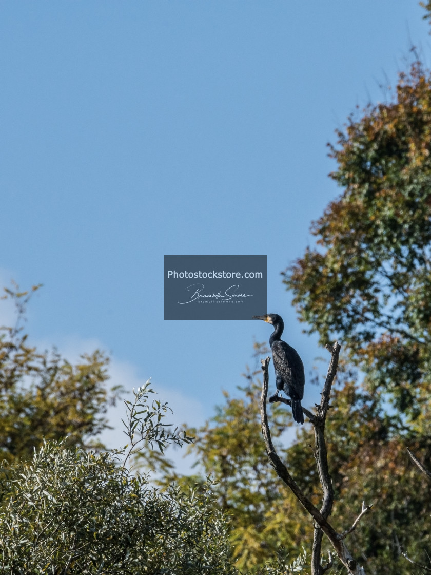 """Common cormorant resting on the branches of a tree"" stock image"