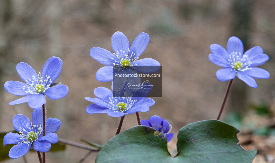 """""""group of spontaneous flowers with lilac petals and white pistils"""" stock image"""