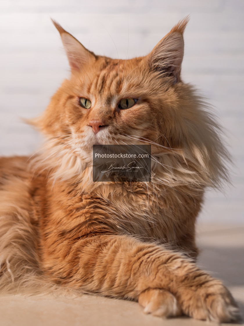 """Purebred red Maine Coon cat lying on the floor at home"" stock image"