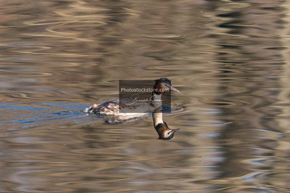 """Great crested grebe swims in the calm waters"" stock image"