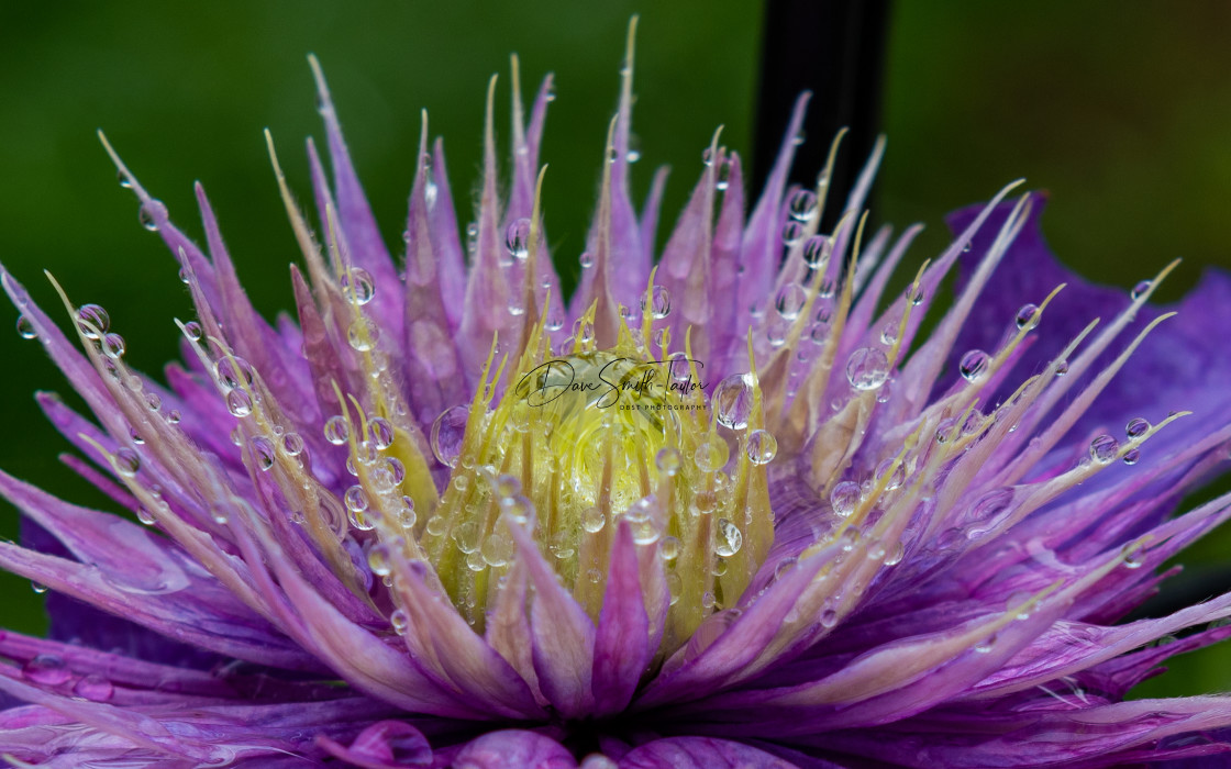 """""""Water Drops on Flowers"""" stock image"""