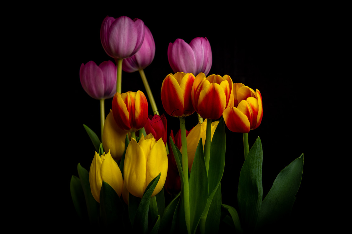 """Assorted Tulips"" stock image"
