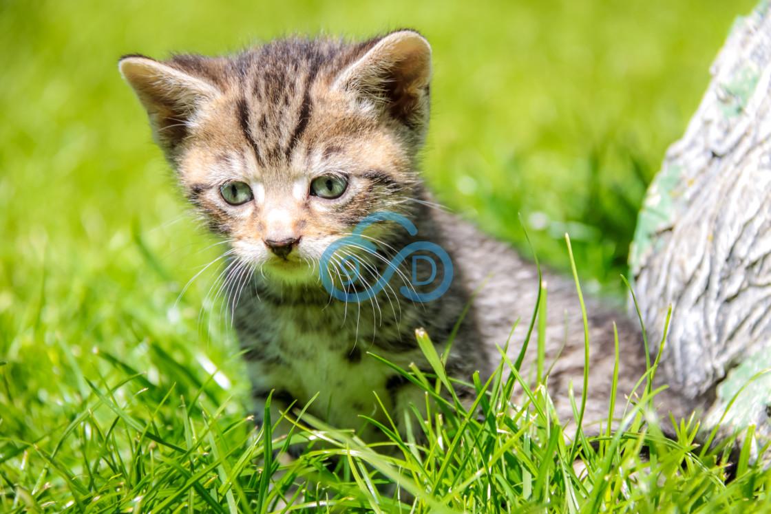 """""""Tabby Kitten"""" stock image"""