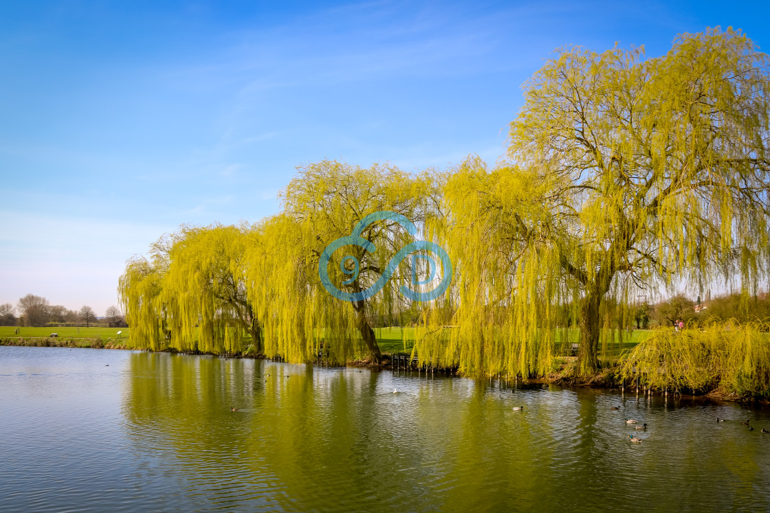 """""""Weeping Willow Trees"""" stock image"""