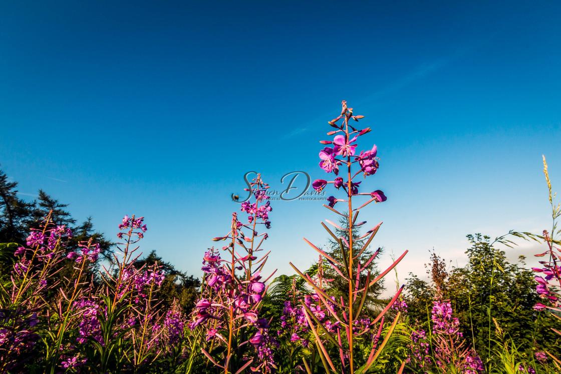 """Rosebay Willow-herb & the bee"" stock image"
