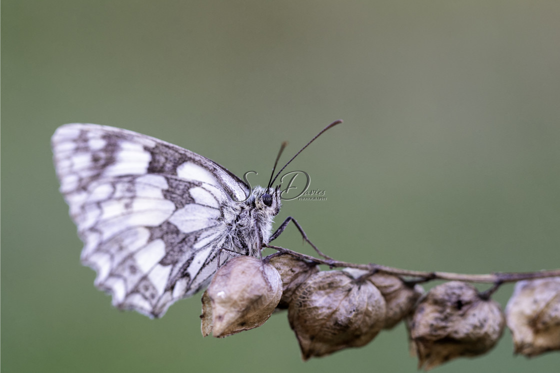 """""""Marbled White Butterfly"""" stock image"""