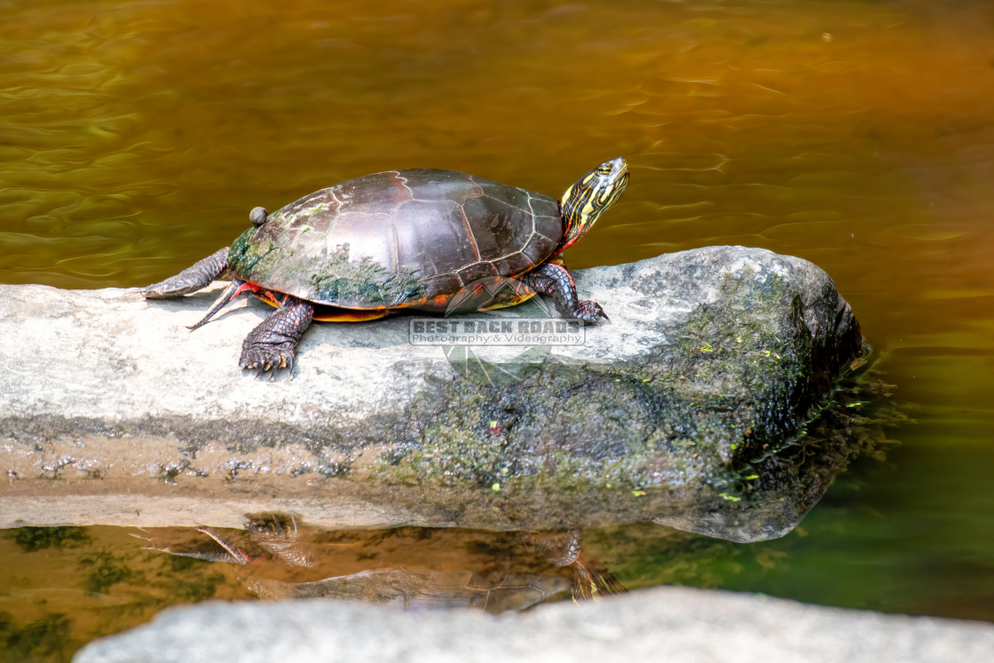 """""""Painted Turtle (Chrysemys picta)"""" stock image"""