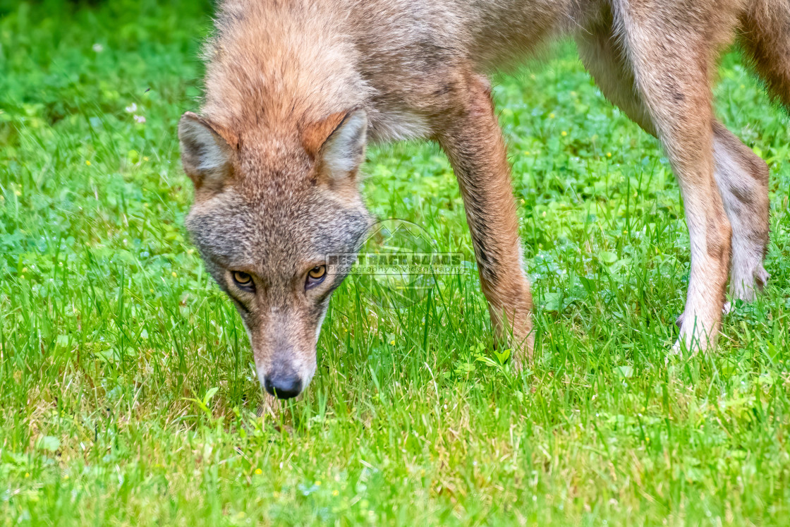 """""""Coyote (Canis latrans)"""" stock image"""