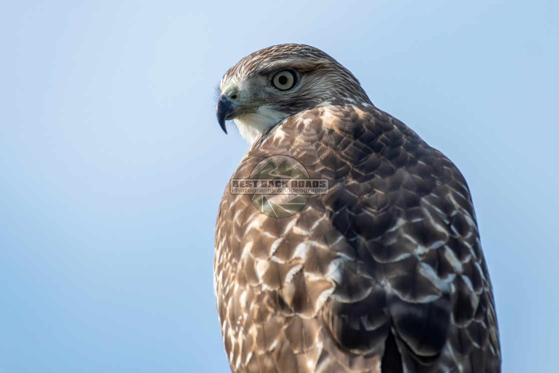 """""""Red-tailed Hawk (Buteo jamaicensis)"""" stock image"""
