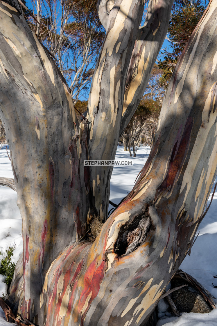 """Australian snow gum in the elements // Kosciuszko National Park,"" stock image"