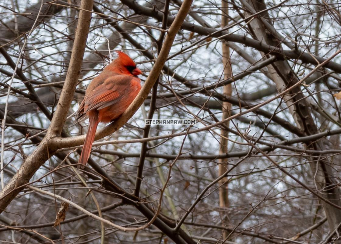 """Northern cardinal // Central Park, New York"" stock image"