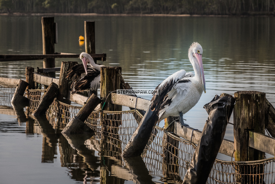 """""""Pelicans preening // Coomba Park, Great Lakes"""" stock image"""