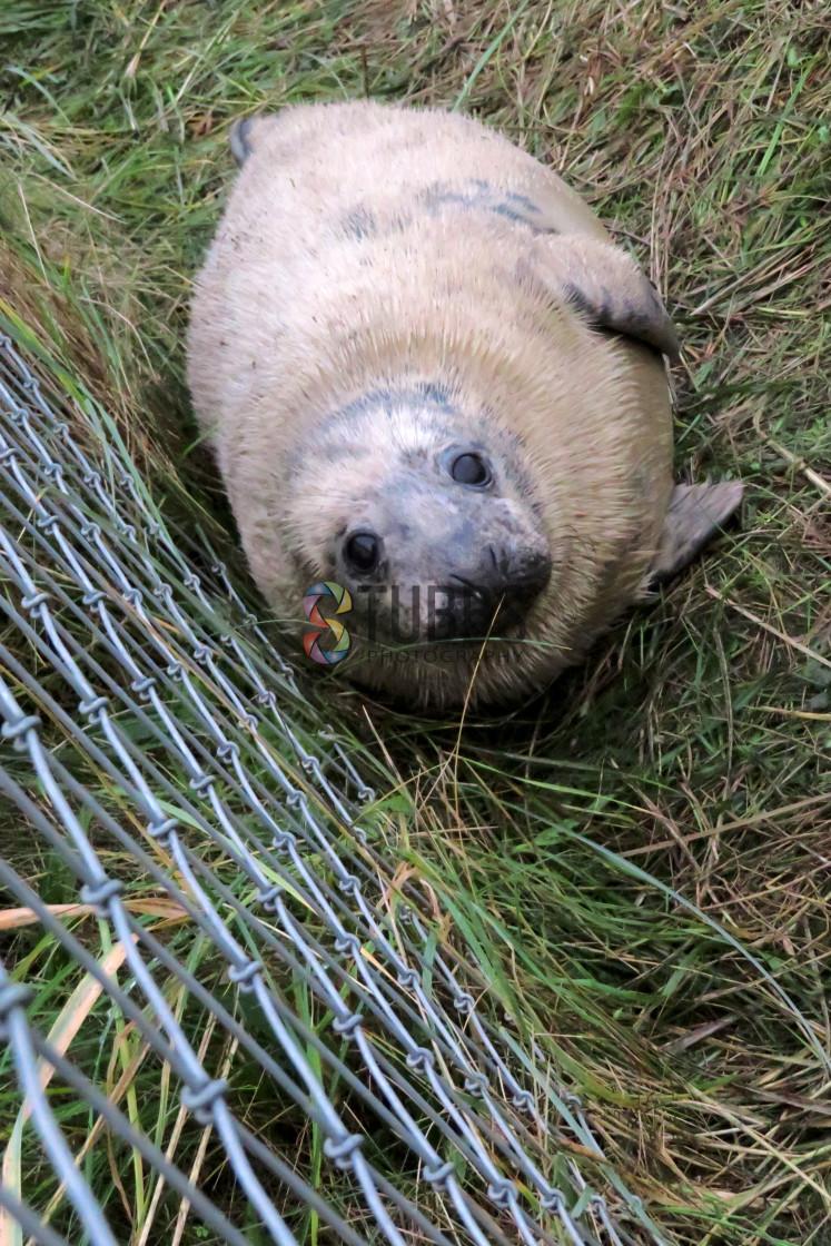 """Grey Seal at Donna Nook"" stock image"