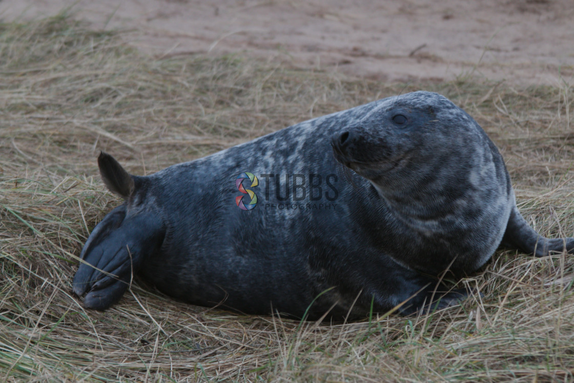 """Grey Seal at Donna Nook"" stock image"