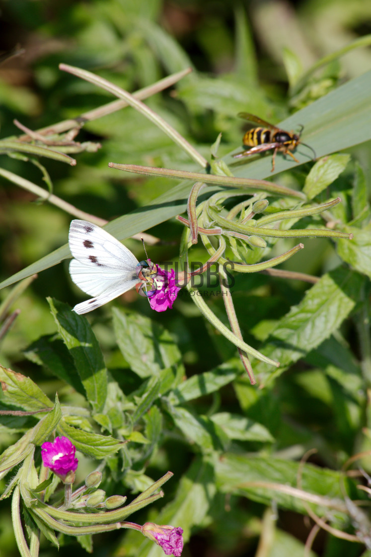 """Large White - Pieris brassicae"" stock image"