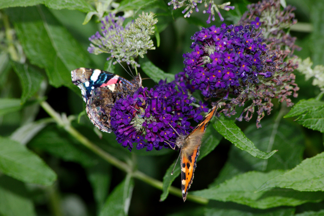 """Butterflies on a Buddleja"" stock image"