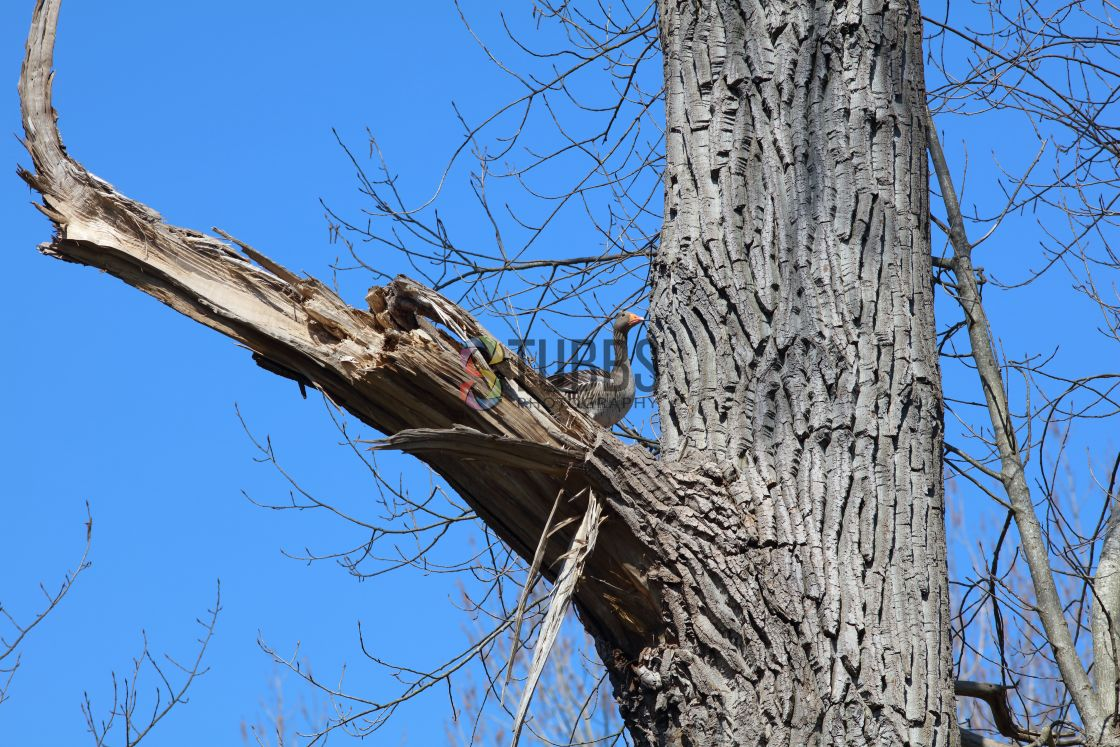 """""""Graylag goose high in a tree"""" stock image"""