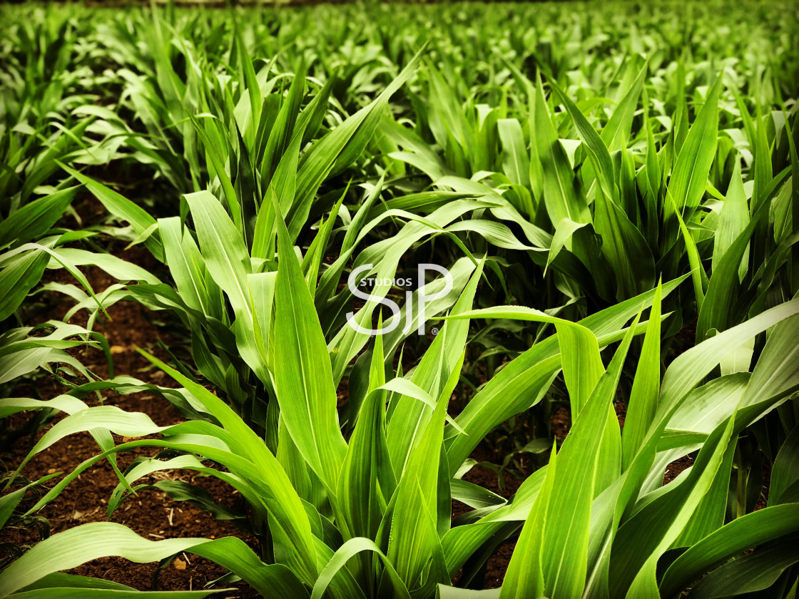 """Bright green crop leaves"" stock image"