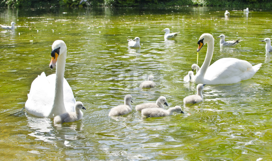 """""""Swans and Cygnets"""" stock image"""