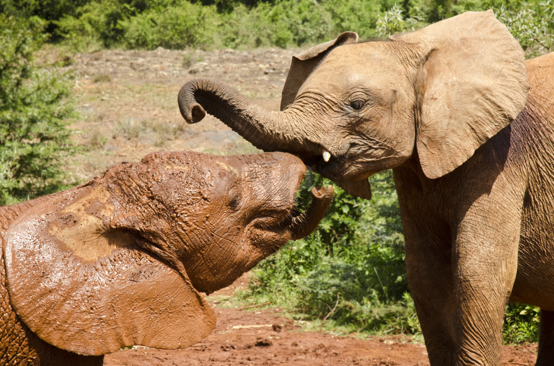 """Baby Elephants, Kenya"" stock image"