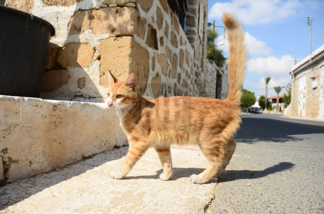 """""""Cypriot Cat"""" stock image"""