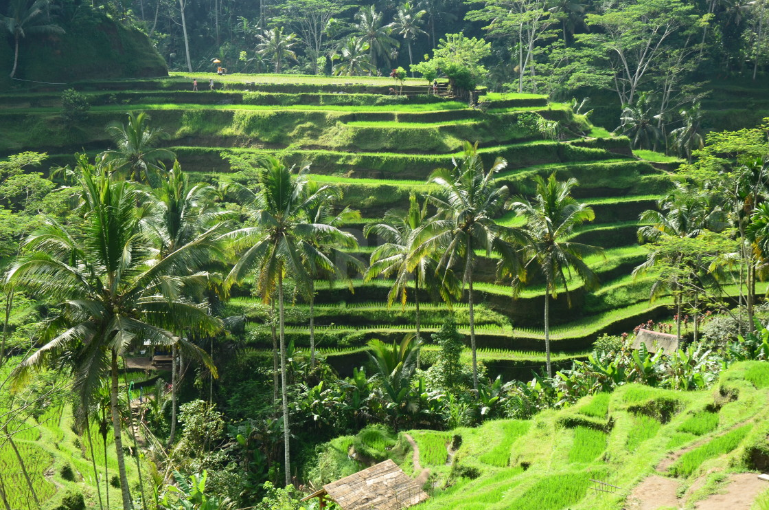"""Rice Terraces, Bali"" stock image"