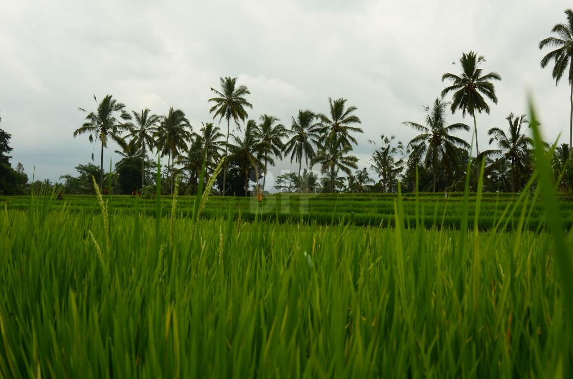 """Rice Farming, Bali, Indonesia"" stock image"