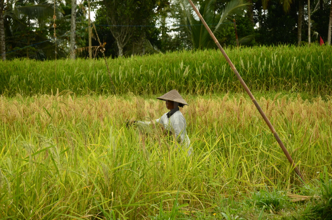 """Rice Farming, Bali, Indonesia"" stock image"