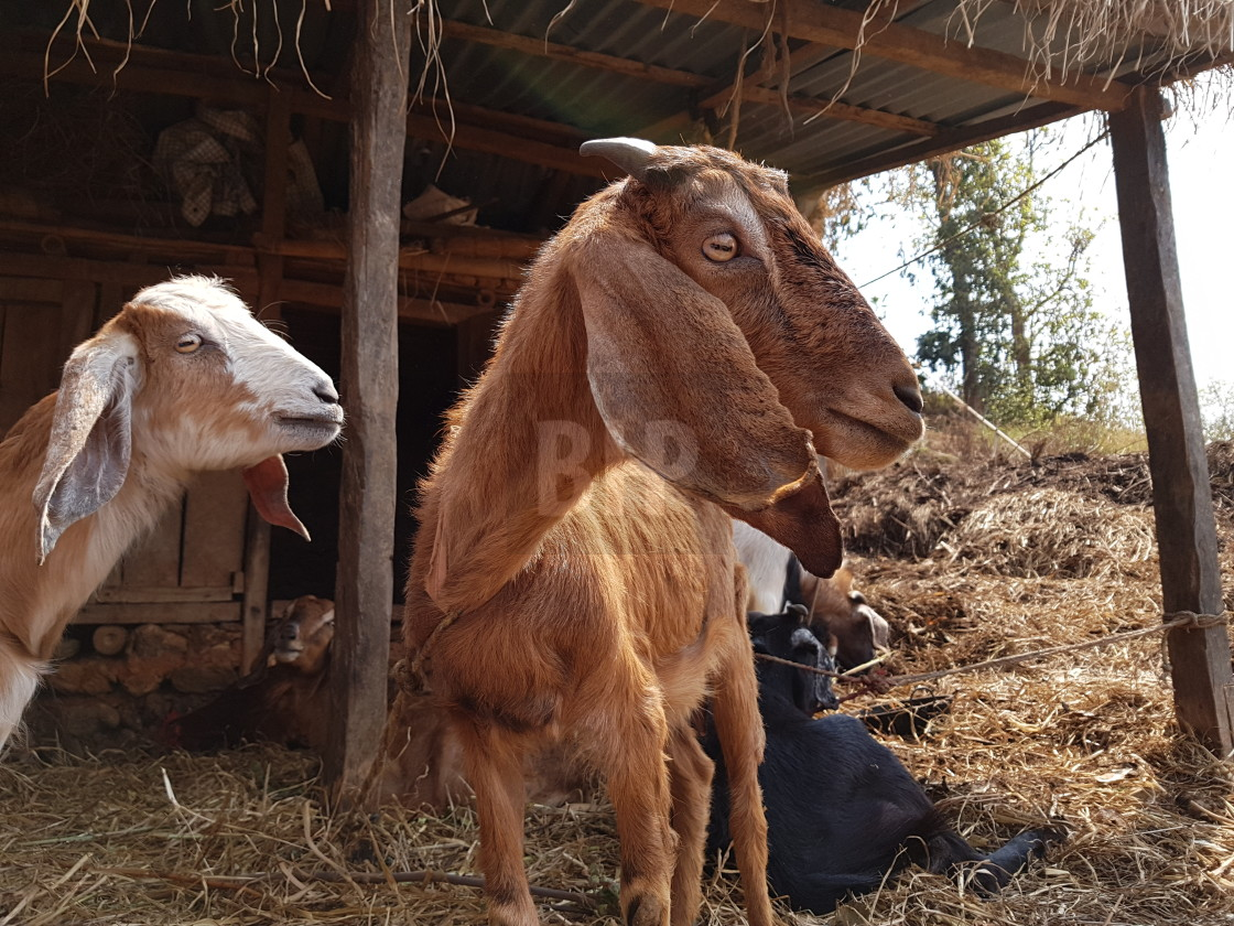"""Goats in Gorkha District, Nepal"" stock image"