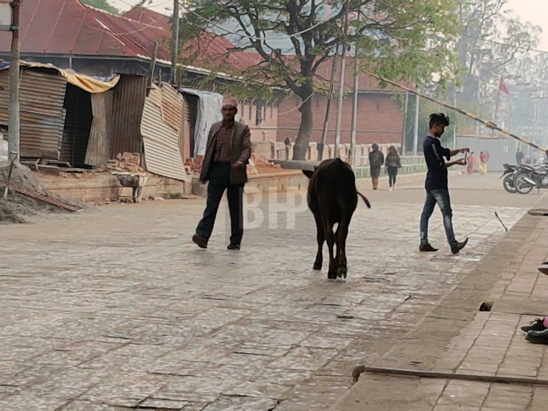"""Cow walking down street, Kathmandu, Nepal"" stock image"
