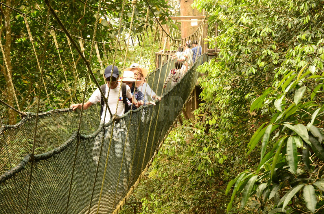 """Rope Bridge in Borneo Rainforest"" stock image"