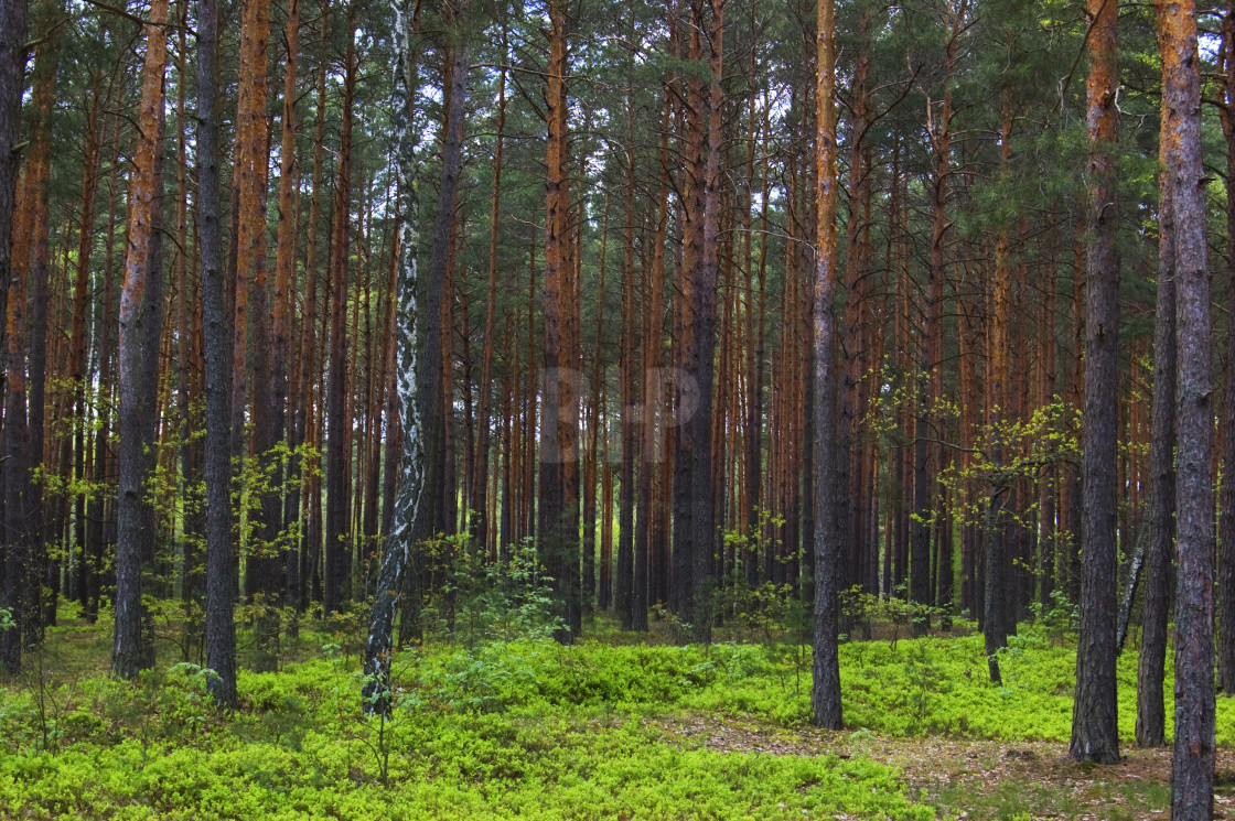 """Forest"" stock image"