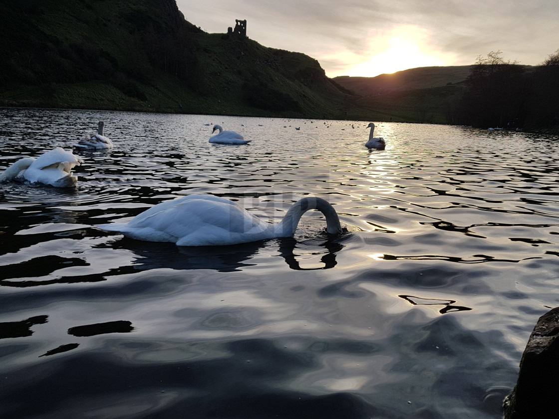 """Swans in St Margaret's Loch, Edinburgh"" stock image"