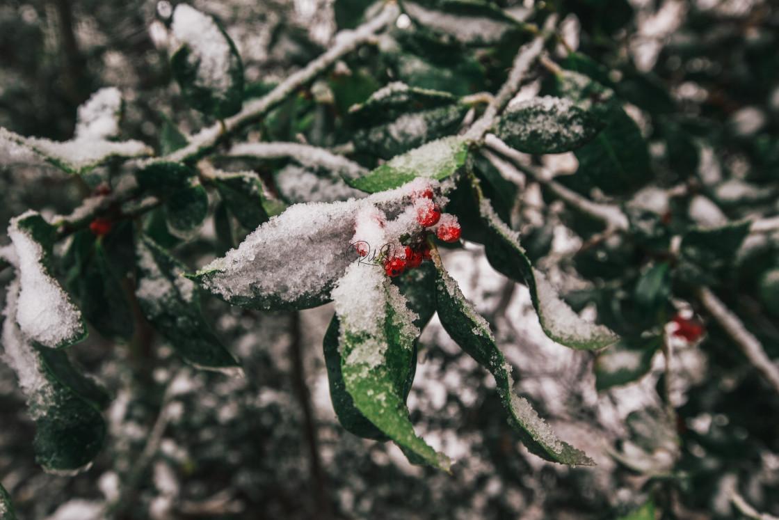 """""""Snow Berries"""" stock image"""