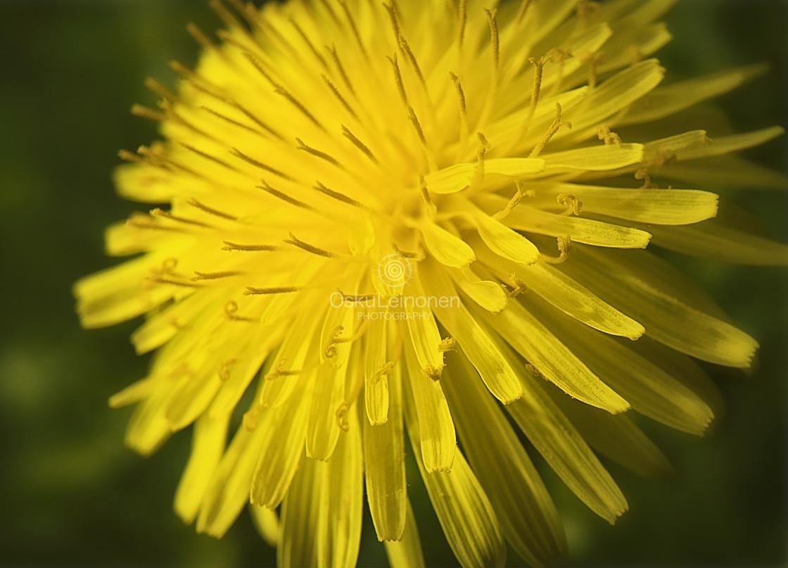 """Warm Coloured Dandelion"" stock image"