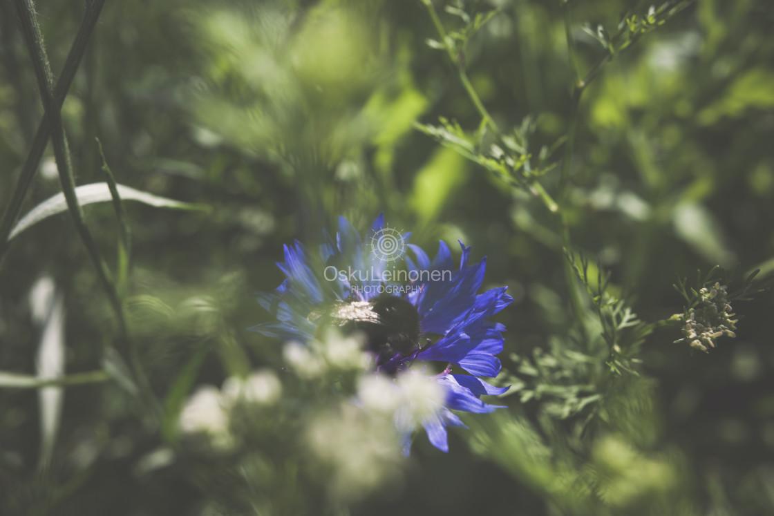"""""""Bumblebee I (Blue Flower)"""" stock image"""