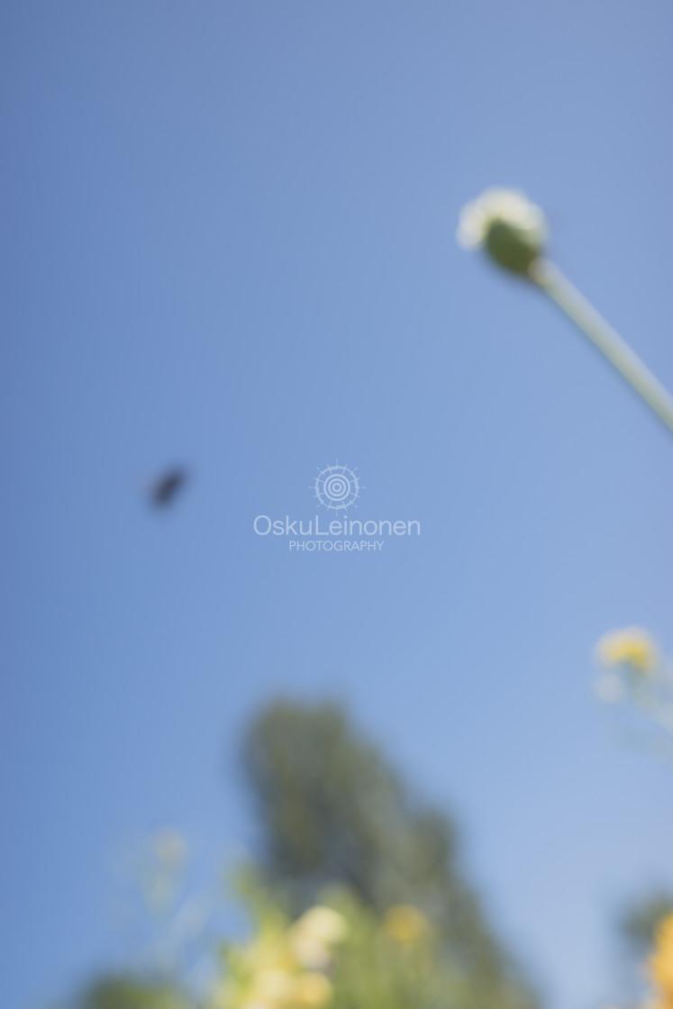 """""""Bumblebee III (Flying)"""" stock image"""