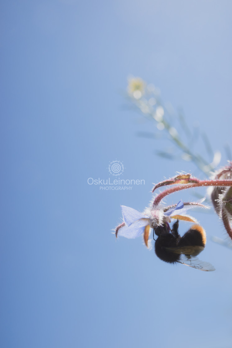 """Bumblebee IV (Hanging)"" stock image"