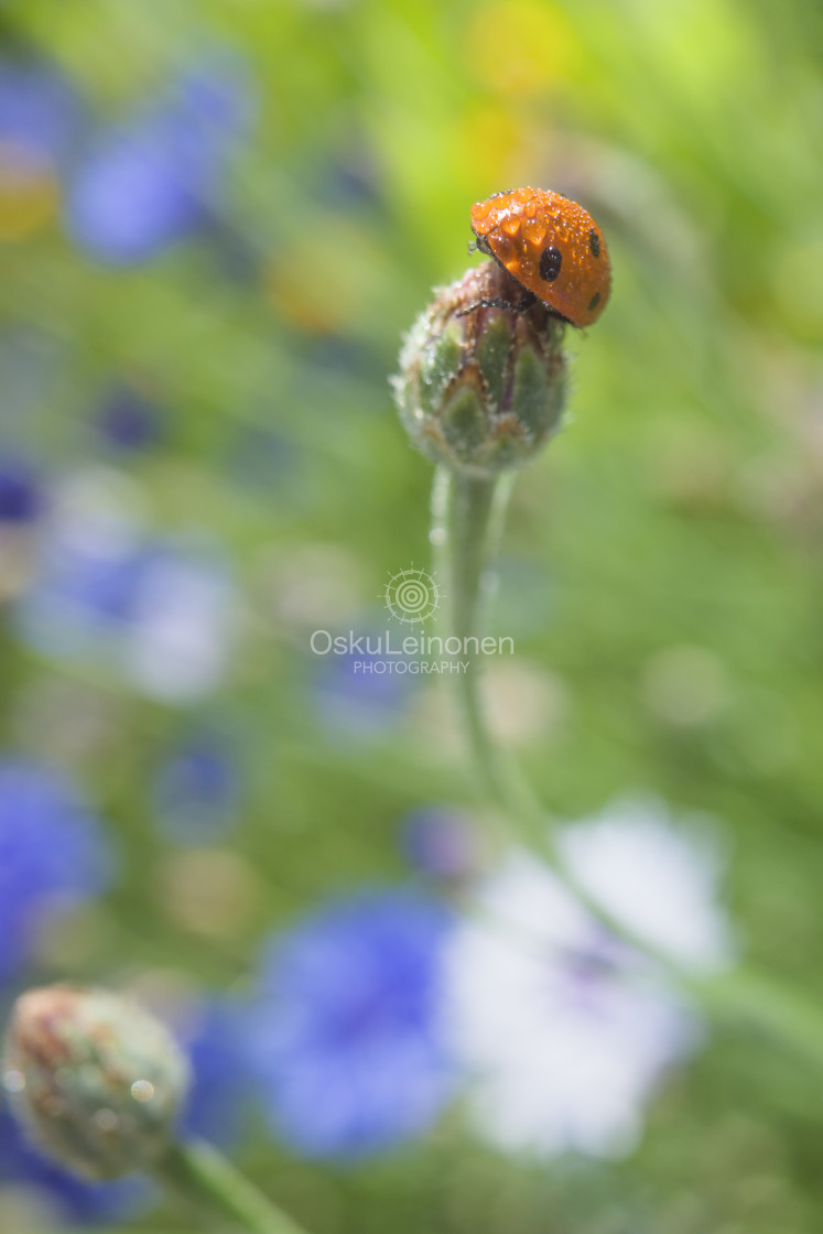 """Ladybug III (To The Right Side)"" stock image"