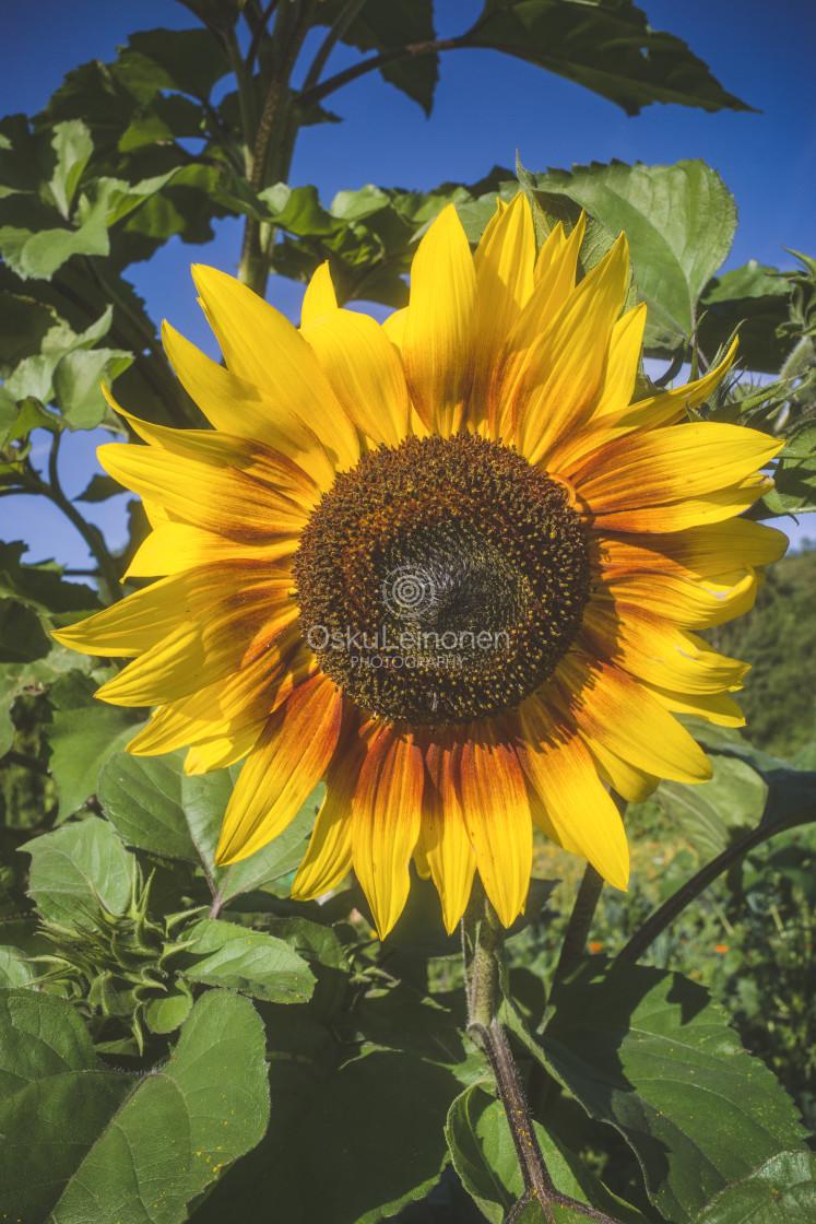 """""""Aesthetic Nature I (Sunflower)"""" stock image"""