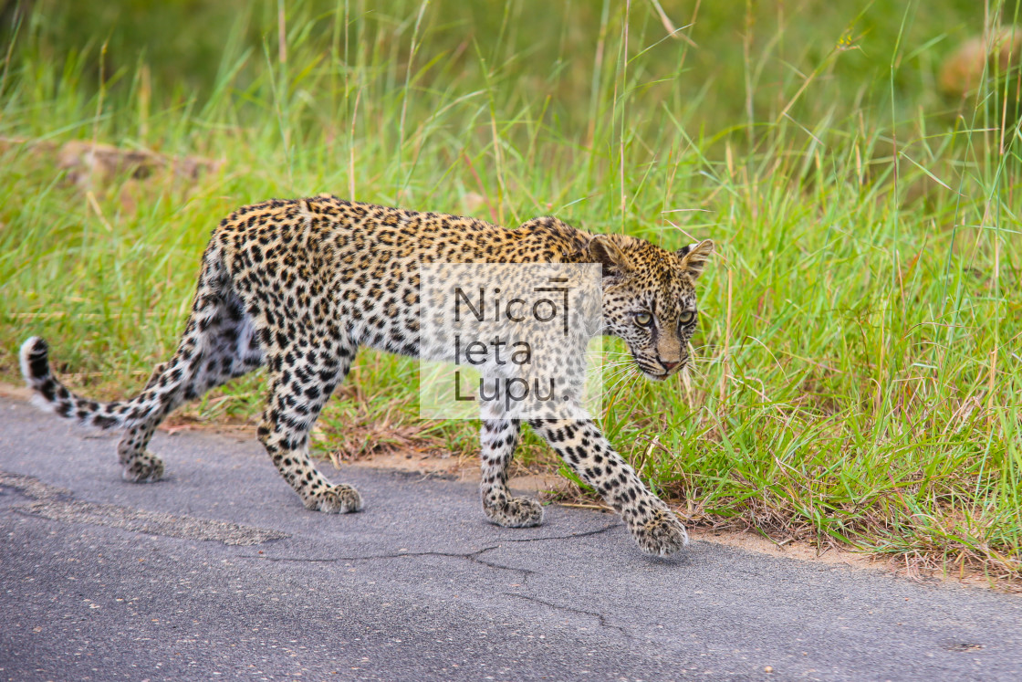 """small leopard walking"" stock image"