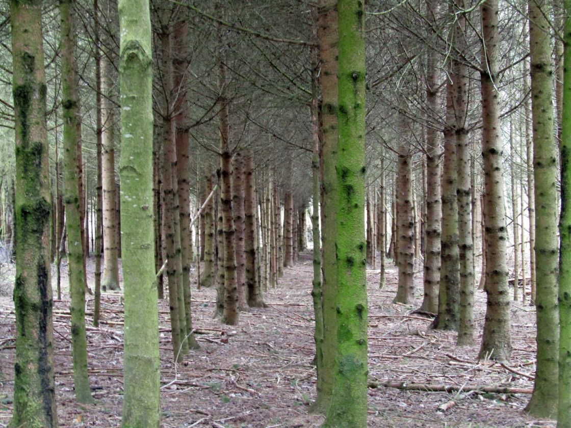 """cotswold birch tree avenues"" stock image"