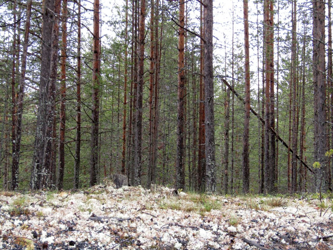 """Forest in Vasterbotten, Sweden"" stock image"