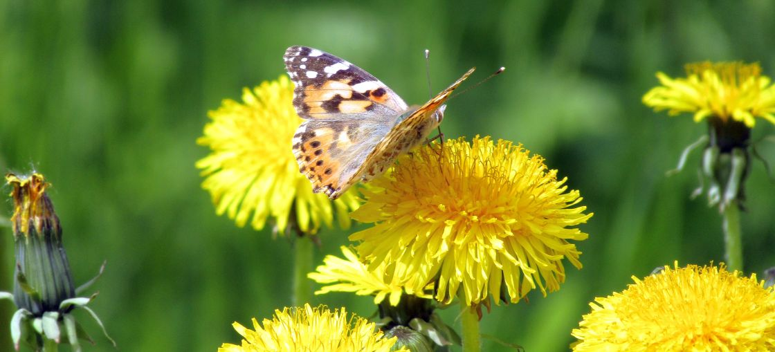 """Butterfly on dandelion"" stock image"