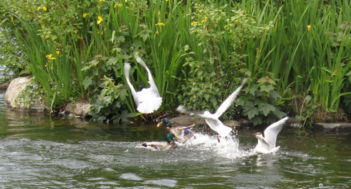 """Ducks & gulls feeding frenzy"" stock image"