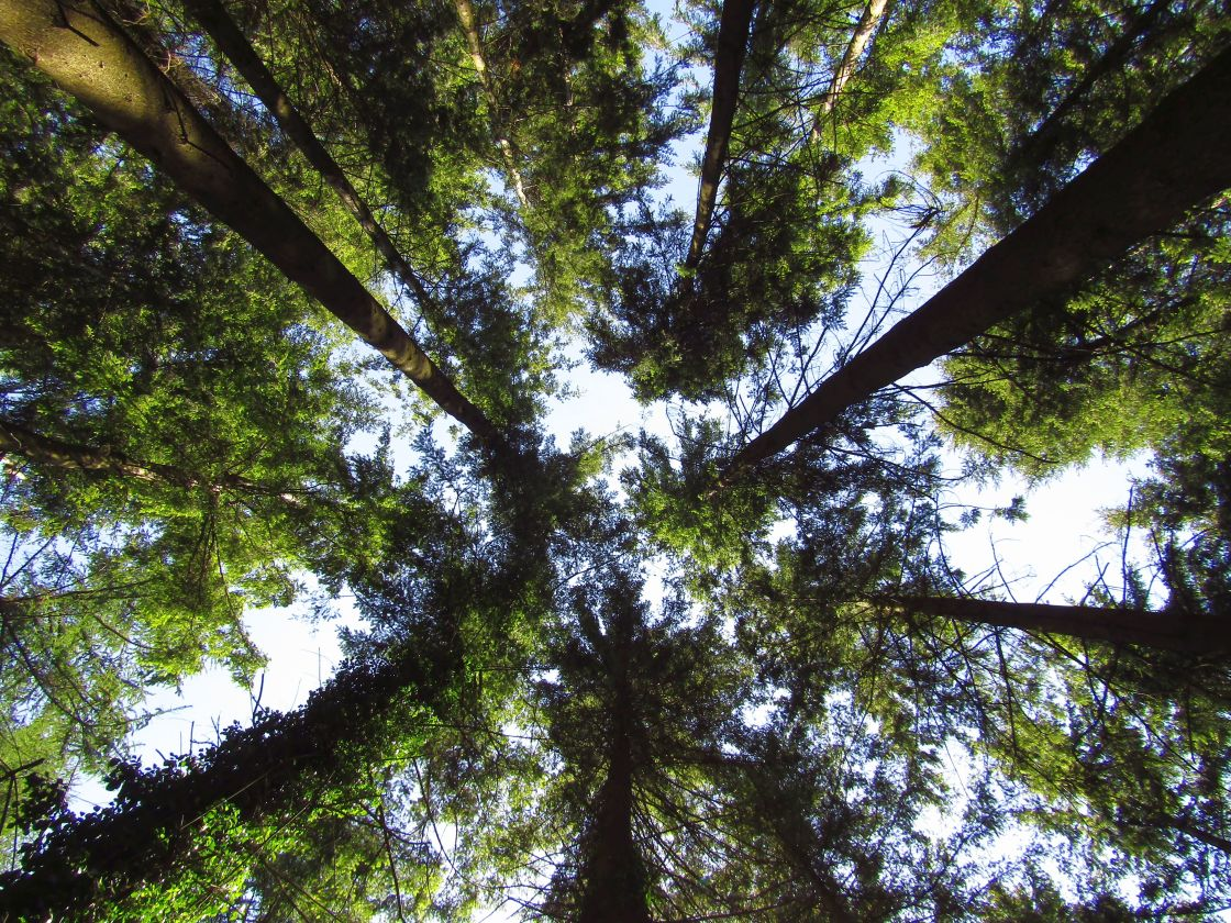 """Looking up to the sky through trees"" stock image"