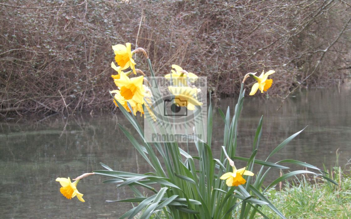 """""""Daffodils on Cotswold riverbank"""" stock image"""