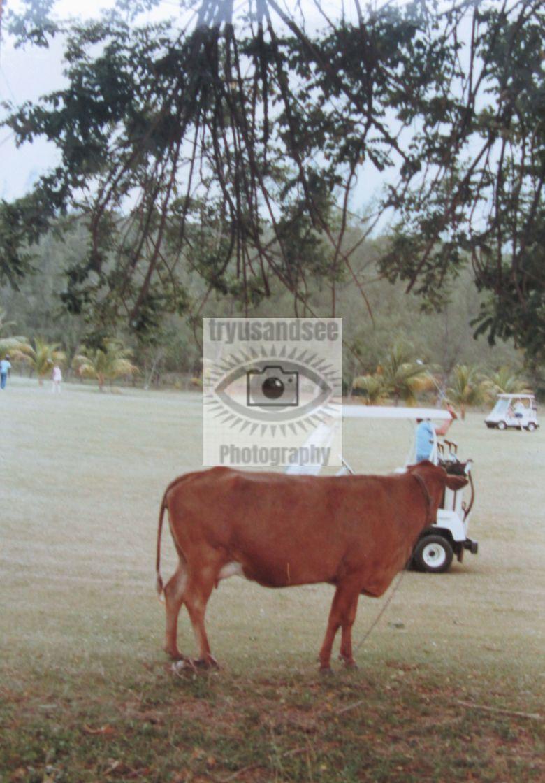 """""""Cow as a golf hazard!"""" stock image"""