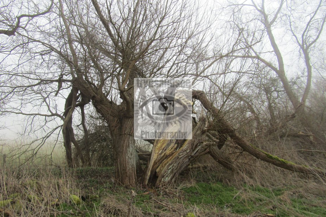 """Broken tree split in two"" stock image"